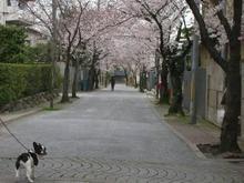 だいぶ咲いてきたな〜。