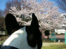 なかなか見事な桜じゃ。